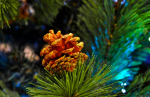 christmas tree fir cone